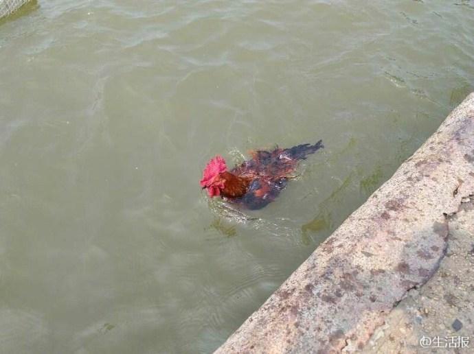 大公鸡竟能陪主人游泳健身 引百人围观 - 周公乐 - xinhua8848 的博客