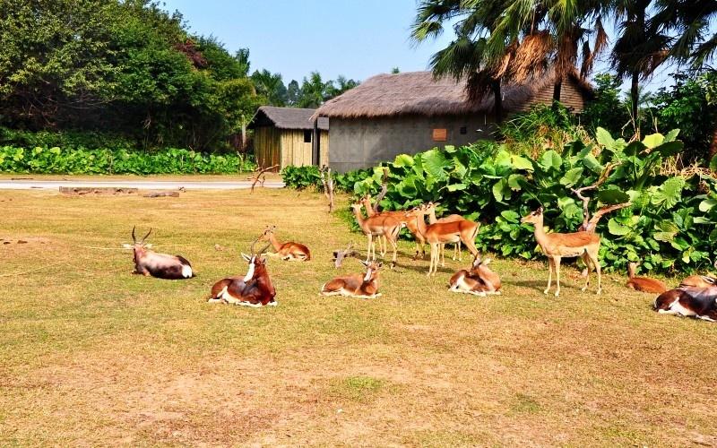 跳羚是非洲草原上狮子和猎豹最喜爱的动物