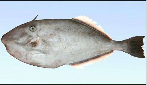 体侧扁,呈长椭圆形,栖息水深200米以上的海区,多成群活动,与马面相似.