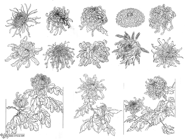 以下有几种菊花的工笔画做参考