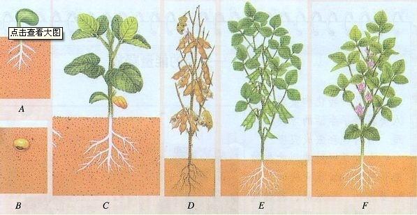 种子的生长过程是发芽 长叶 开花 授粉 结果 对吗 360问答