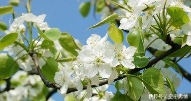 【原创】一棵门前地老梨树,成载着岁月地不易和如山地父爱