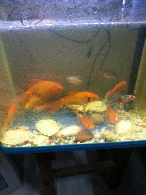 金鱼怎么分公母 新买的金鱼为什么一直追着家里的金鱼跑啊啊图片