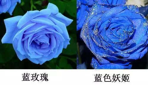 【转】北京时间      你送给女神的蓝色妖姬竟是这样做出来的 - 妙康居士 - 妙康居士~晴樵雪读的博客