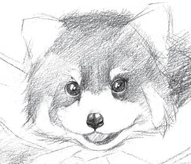 素描画一只可爱的狐狸