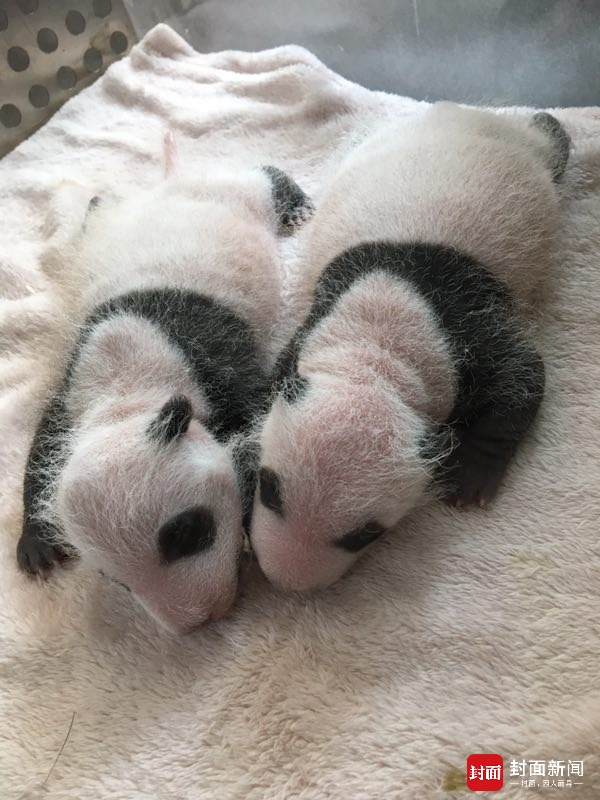(文摘)大熊猫芝芝首次当妈 对双胞胎幼崽竟各种嫌弃 - aihua191 -    aihua191的 博 客