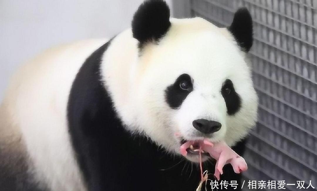熊猫去世后国家会怎么处理真的心疼熊猫,网友太狠心了