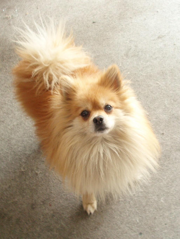 1.犬冠状病毒病是犬感染冠状病毒后引起的一种肠道传染病,犬感染后症状轻重不一,可能呈现至死性水样腹泻,也可能无临床症状。   犬冠状病毒感染大多数是由病犬排出的粪便及污染物传播的,感染途径是消化道。潜伏期为1~3天,感染率20%,传播迅速、数月内可蔓延全群。   [症状]   临床症状轻重不一,可出现致死性的水样腹泻,也可能不出现临床症状。幼犬受害严重,主要表现为嗜睡、衰弱、厌食、呕吐,排出恶臭的稀软而带粘液的粪便。一般先是持续4天的呕吐,呕吐次数直到腹泻的第一天才开始减少。病犬因腹泻而迅速脱水,体重