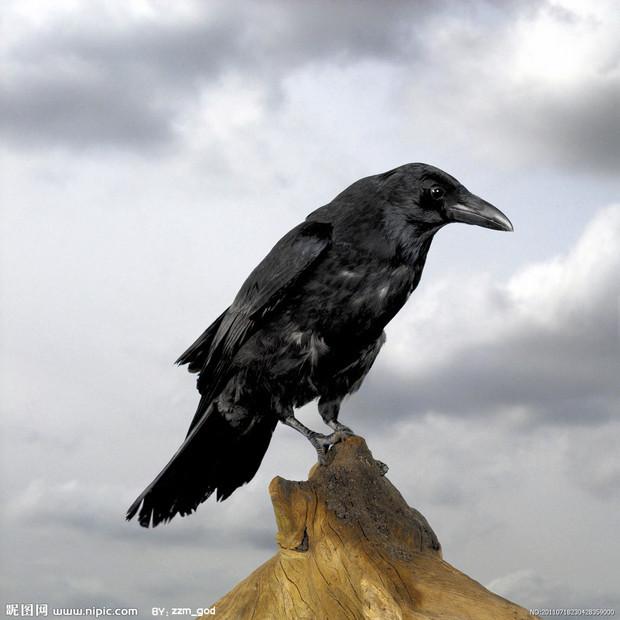 乌鸦是一种什么样子的动物