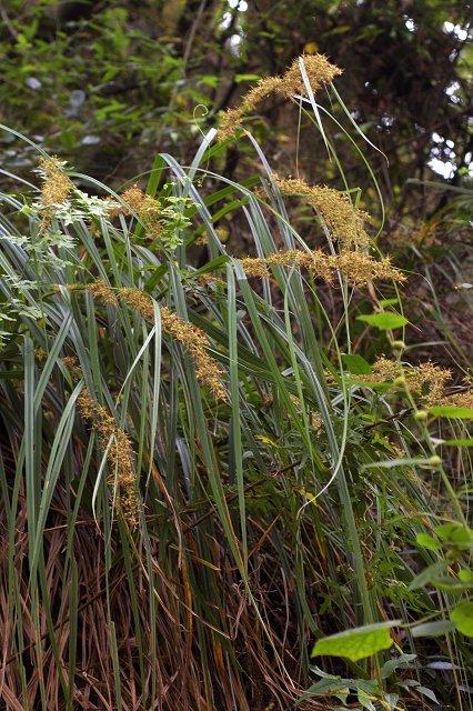 长柱头苔草