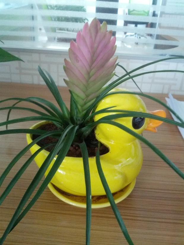 花卉名字铁兰凤梨科植物