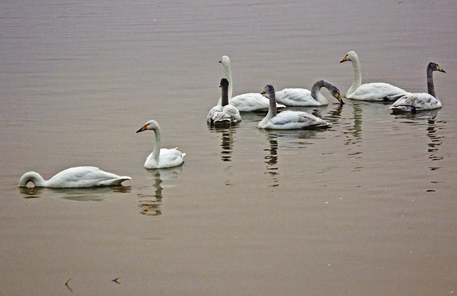 瞧这一家子,两只白羽毛的是大天鹅,其余是小孩子们-天鹅湖天鹅凌图片