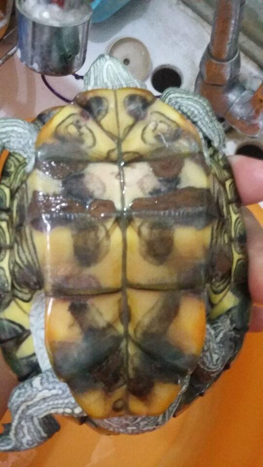 晒太阳,经常拿(新买的牙刷)给它洗澡 其他回答 不是,我家乌龟这样