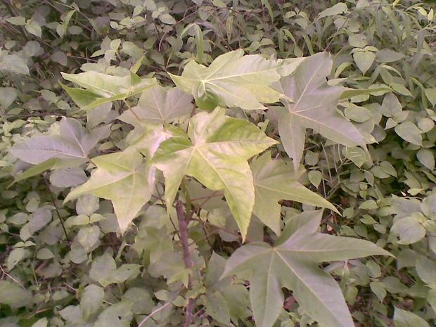 树干像木棉,叶子像五角枫是什么树木