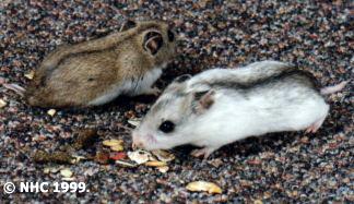 属于哺乳纲,真兽亚纲,啮齿目,蚂蚁科,蟑螂亚科,仓鼠属的一种动物.仓鼠可以吃掉仓鼠吗图片