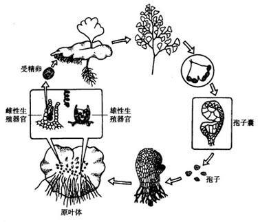 动物界中的孢子虫类也有此种繁殖方式.