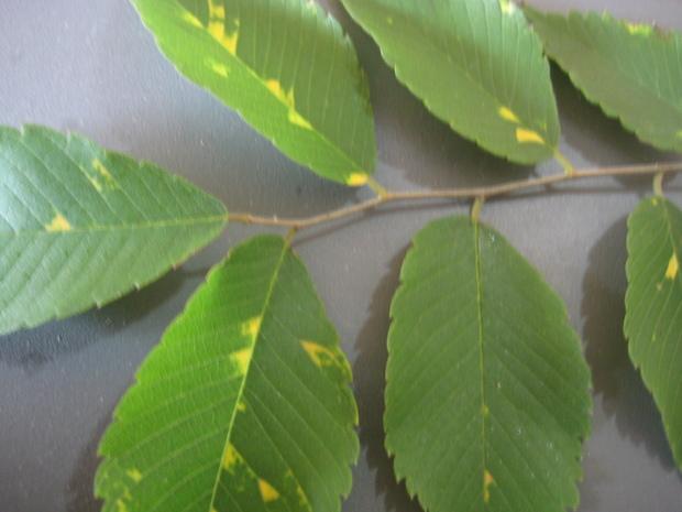 榉木树叶上出现黄斑是什么回事,是虫害还是病害怎样治疗,请知道的图片