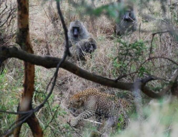 在一个野生动物园里,一只狒狒妈妈带着自己的幼崽在路上行走着,可是它