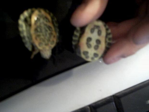 小乌龟怎么分公母