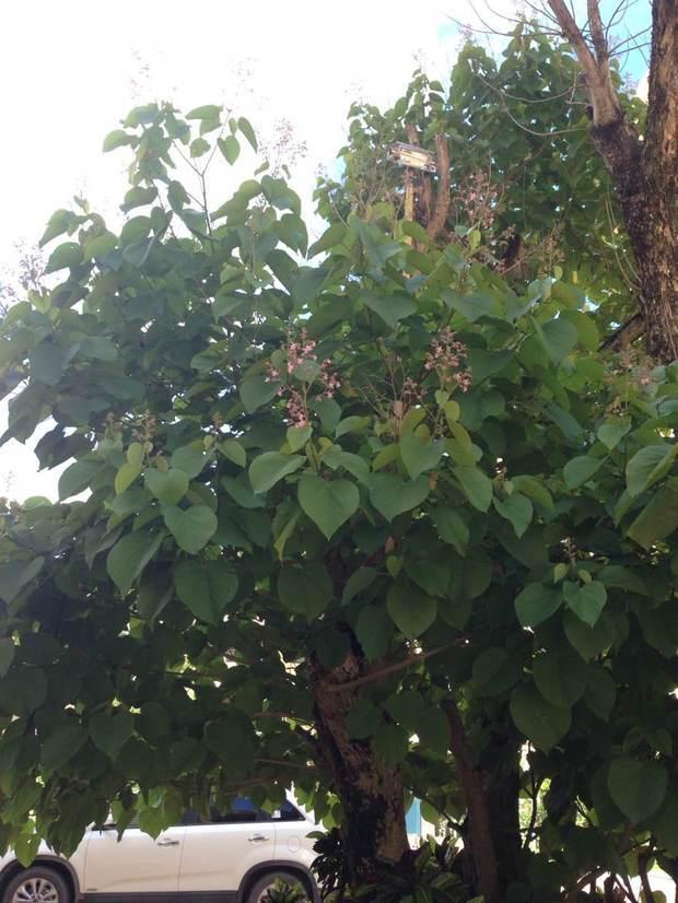 心形叶子开小紫色花是什么树
