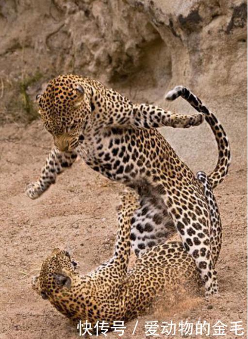 <b>动物搏击的精彩瞬间,凶猛与搞笑的集合体,口水都溅的满天飞</b>