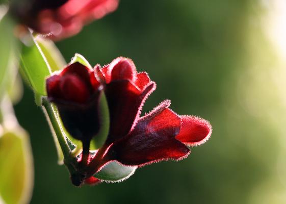 绿化养护,口红花