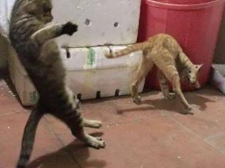网友拍下家里2只猫咪打架的画面,最后被橘猫的姿势笑喷了...